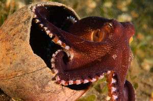 Coconut Octopus, Bali Scuba Diving and Underwater Photography