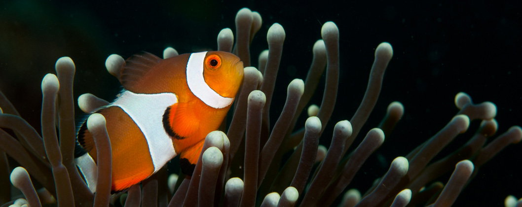 Anemone fish detail, magnificent anemone, Lembeh Strait, Sulawesi, Indonesia