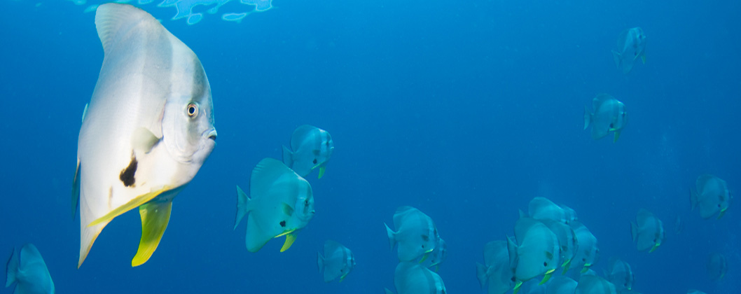 Schooling batfish, Yangeffo, Citrus Ridge, Raja Ampat, West Papua, Indonesia