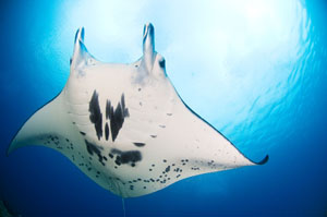 Manta Ray Dive Travel