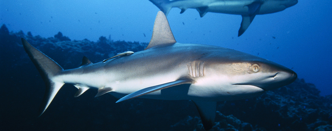 Grey reef shark, Toau atoll, Tuamotu, French Polynesia