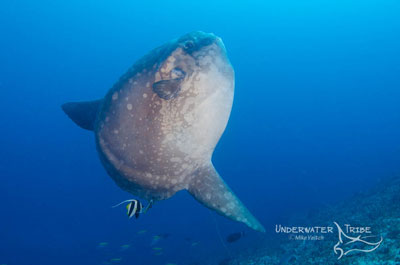 Mola mola cleaning at Crystal Bay, Nusa Pendida