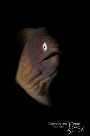 White Eyed Moray Snooted