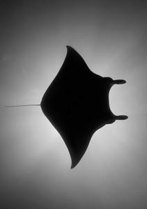 BW Mantaray