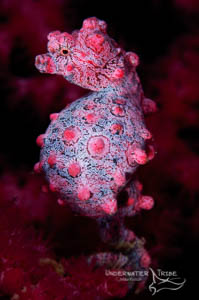 Bali Academy of Underwater Photography, bargibangi pygmy