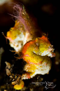 Bali Academy of Underwater Photography, Pygmy Seahorses