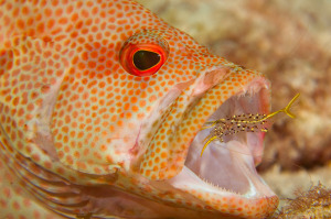 Grouper Being Cleaned