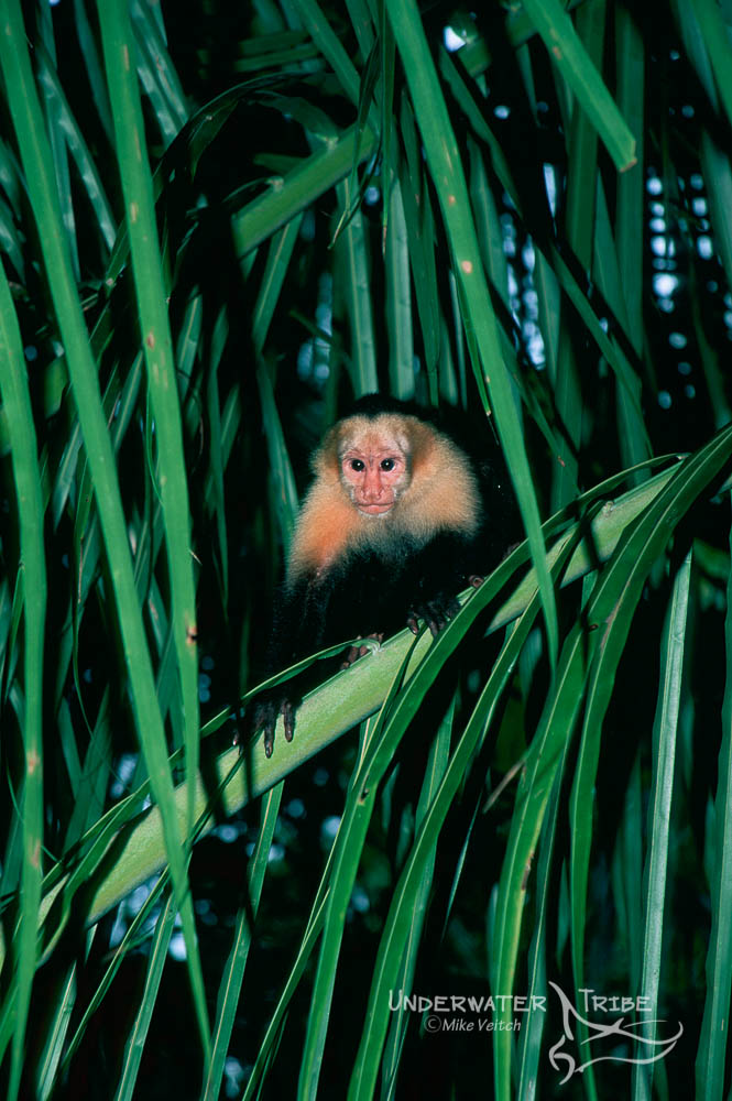 White Faced Monkey in a Palm Tree