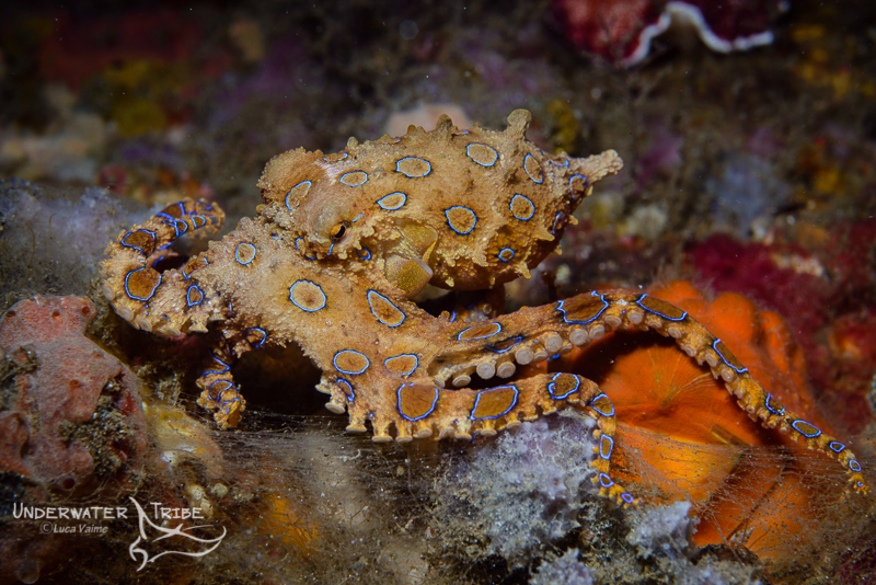Blue Ring Octopus from Padang Bai, Bali.
