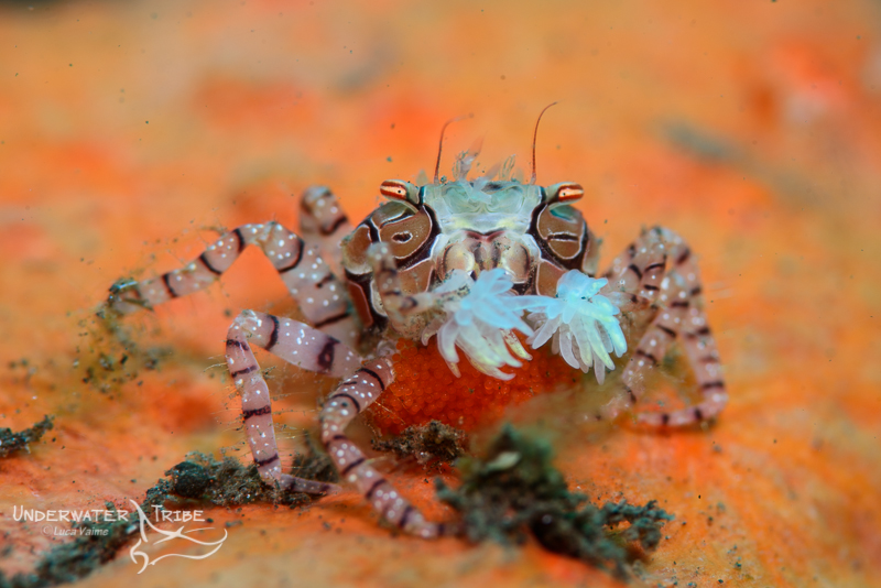 A boxer crab carrying eggs in Batu Niti East Bali
