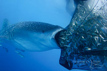 Photo Competition Tips Whaleshark and Fishing Net