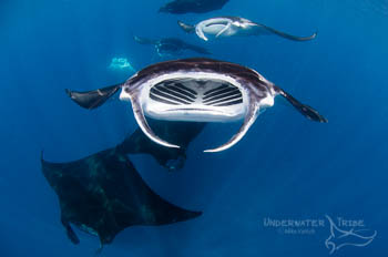 Manta Rays Behaviour - How to Win Photo Competition