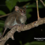 Tarsier at Tangkoko
