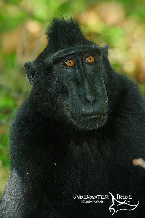 Black Macaque Tangkoko