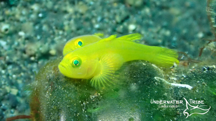 A pair of yellow gobies