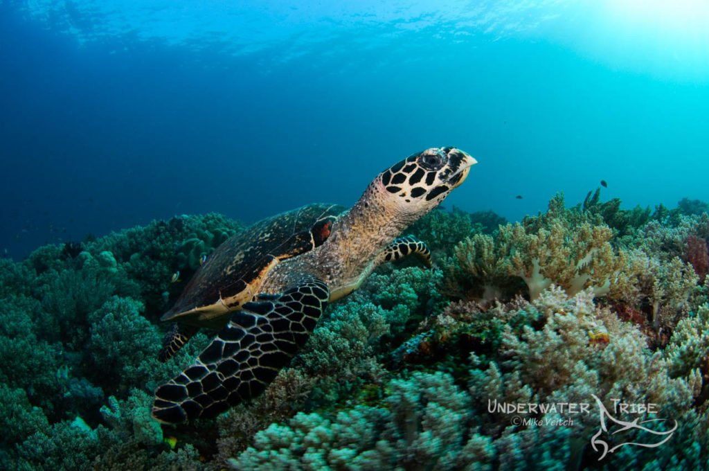 A hawksbill turtle on the reef Raja Ampat